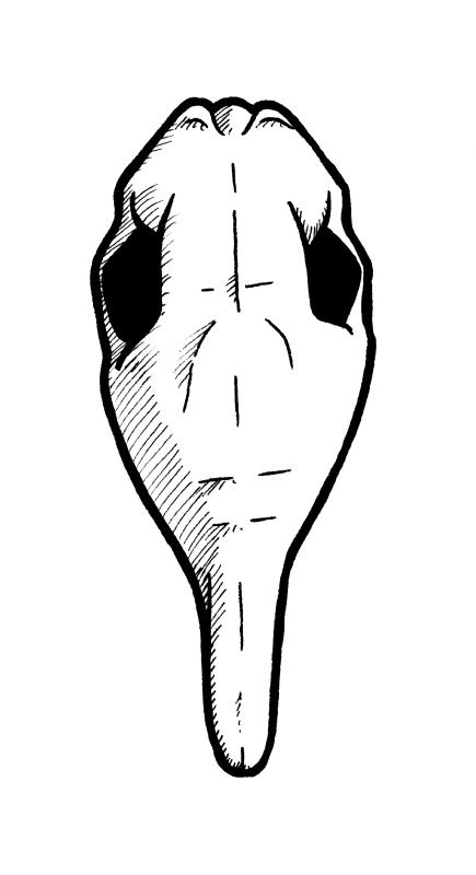 Line art of an armadillo skull