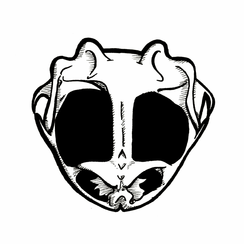 Lineart of a frog skull.